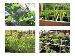 From Top Left Clockwise - Broccoli, Onions, Peas, Strawberries - WOO HOO!!!!!