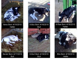 Baby Pictures of our New Calves