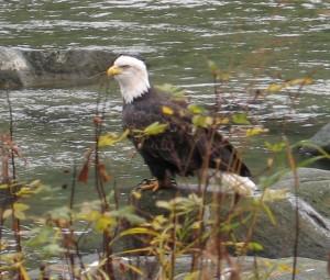 Bald Eagle Fishing in Haines Alaska