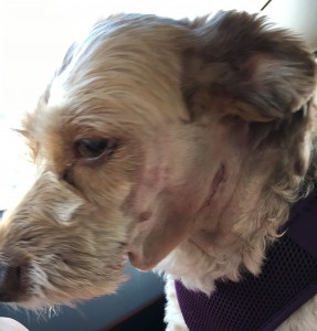 Here is Rosebud who I share with a family in Haines. She needed surgery to fix her salivary gland that had burst and was filling a sac below her chin. She made the trip south to get this fixed. She is heading back north the end of the month.