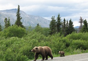 Grizzly's Have Families to Feed Too